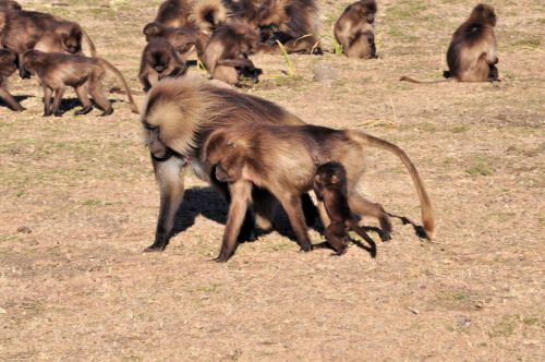 Ethiopia: Gelada Baboons - Simien Ecological Park