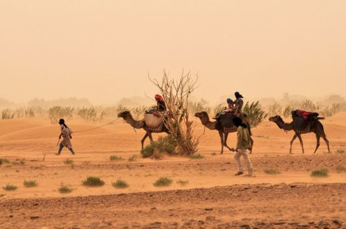 Morroco: Camel caravan in the Sahara desert