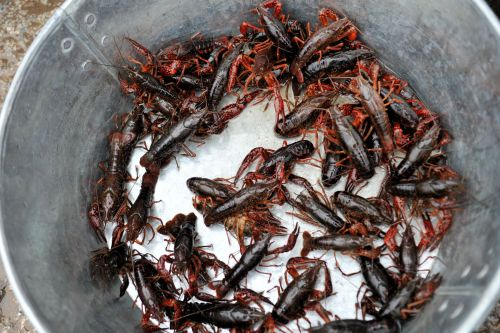 Markets: Fish & Meat - Xinglong Seafood Market, Dali, China: A bucket of crayfish